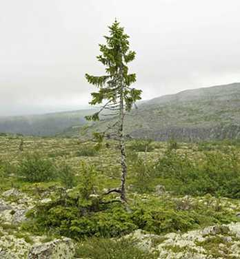 NorwaySpruce